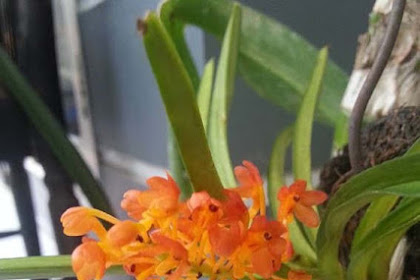 Cara Budidaya dan Merawat Anggrek Kebutan (Ascocentrum Orchid) agar Cepat Berbunga
