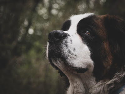 A close up photo of the side of a St. Bernard