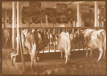 Lehmiä pilttuussa.