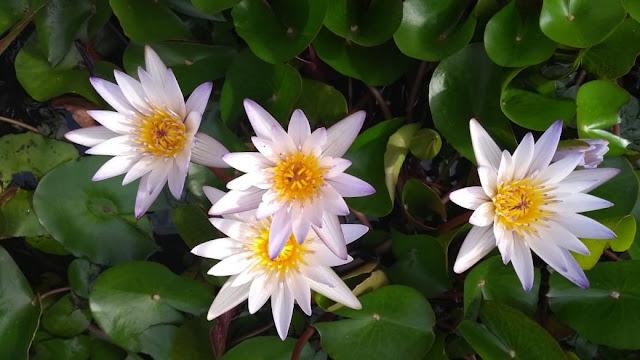 Cultive sua Flor de Lótus