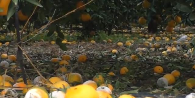 Ούτε ένα πορτοκάλι δεν κάνει για εξαγωγή λένε οι αγρότες στο Τρίστρατο Αργολίδας (βίντεο)