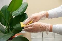 Nettoyer les feuilles des plantes avec la peau de banane