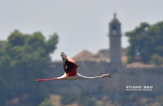 Ένα μοναχικό πανέμορφο φλαμίνγκο επισκέφθηκε το Ναύπλιο