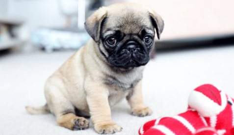 Pug Pure Breed Puppies | Pug Puppy Price Howrah