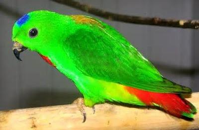 Tips Dan Cara Akurat Untuk Perawatan Burung Serindit Supaya Pandai Dan Gacor