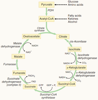 Kreb cycle made easy, Kreb cycle mnemonics, Kreb cycle diagram, pyruvate carboxylase, tca cycle steps, tca cycle with structure.