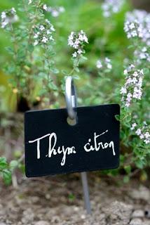 Plants de thym