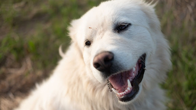 Is The Great Pyrenees Kid-Friendly?