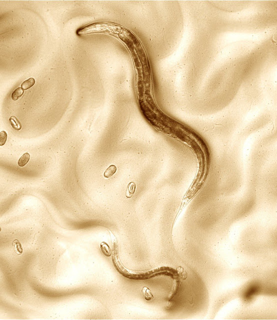 Scientists create new standard genome for heavily studied worm