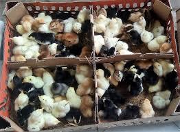 Pakan Ayam Joper Agar Cepat Besar