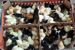 Harga DOC Ayam Joper Hari Ini April 2019