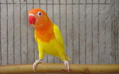 Trik Dan Cara Ampuh Untuk Mengenal Semua Tentang Jenis Burung Love Bird Lutino Terlengkap