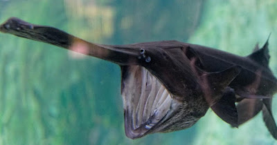 Paddlefish - animals begin with letter P