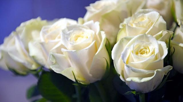 closeup white rose flower bud HD flowers Wallpaper
