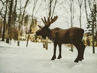 Moose On Snow