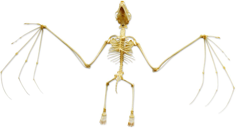 Bat wing skeleton - photo#38