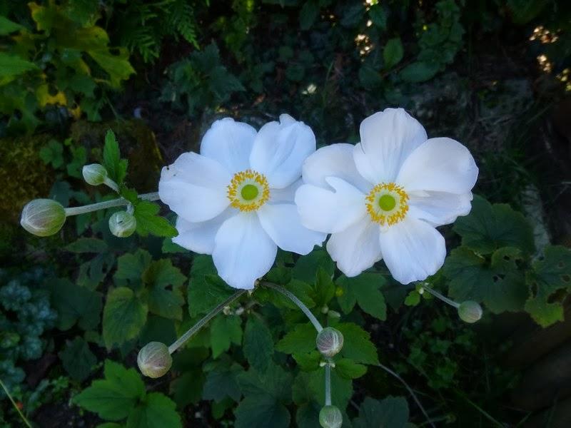 Fleurs blanches automne for Fleurs automne