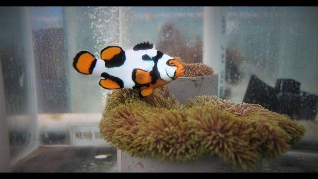 Cara Merawat Ikan Badut dalam Akuarium