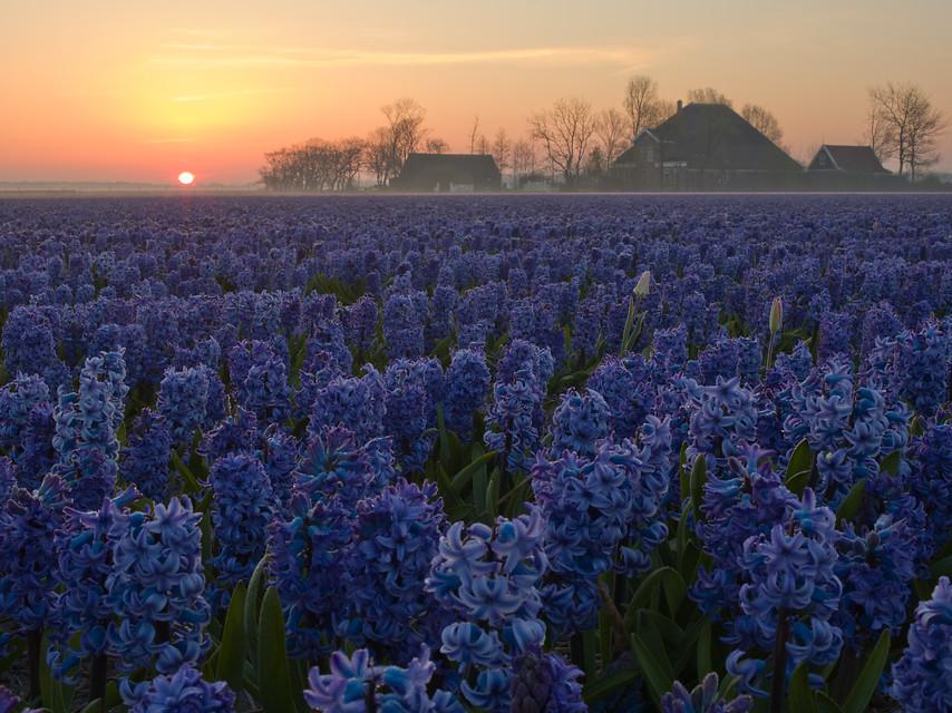 Flores de jacintos azules en campo de cultivo