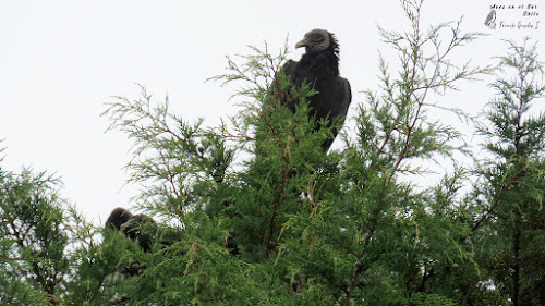 Jote de cabeza negra (Coragyps atratus). Peñol, sector Olmopulli, Maullín
