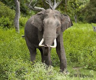 Gajah India
