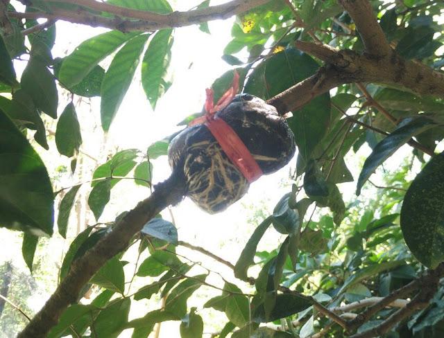 Riset cangkok tanaman rambutan binjai