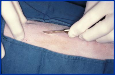 Teknik Operasi Tracheotomy dan Tracheostomy pada Hewan (Bedah Thoraks)