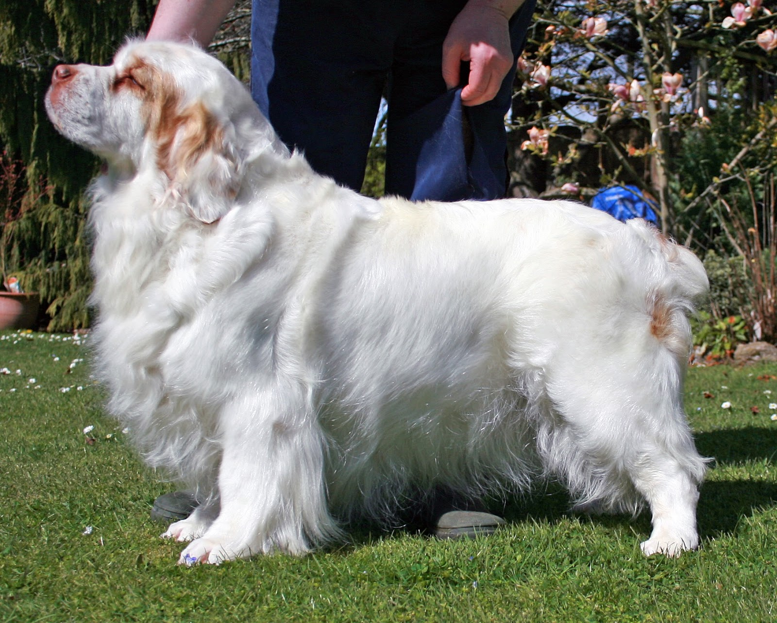 Clumber Spaniel Clumber Spaniel Facts Information And New Pictures All