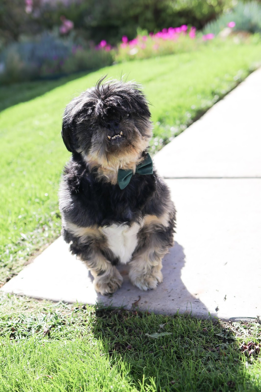 black shih tzu, stylish shih tzu