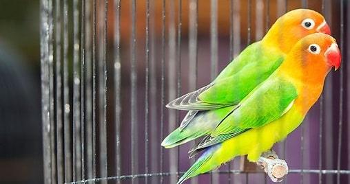 Cara Agar Lovebird Cepat Kawin