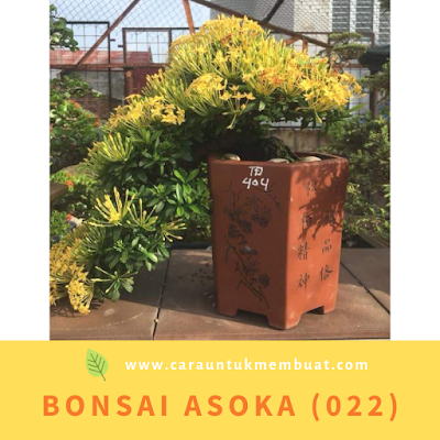 Bonsai Asoka (022)