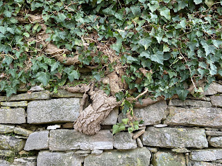 An ivy plant spouts from a wall on Lo Scorlazzone - a hill climb to San Vigilio.