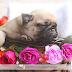 Fotografia na Prática: Newborn Pet com Pug