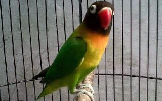 perawatan-lovebird-agar-ngekek-panjang,-perawatan-lovebird-anakan,-Perawatan-Lovebird-Bakalan-buat-lomba,-perawatan-lovebird-bakalan-untuk-lomba,-perawatan-lovebird-juara,