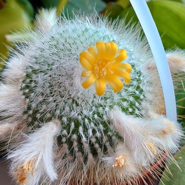 Kaktus med gul blomst