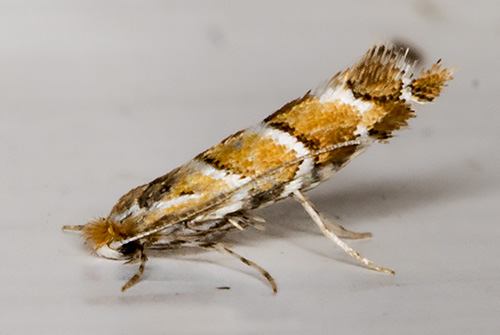 Horse-chestnut Leaf-miner, Cameraria ohridella.  On the door above my garden light trap in Hayes on 11 August 2015.