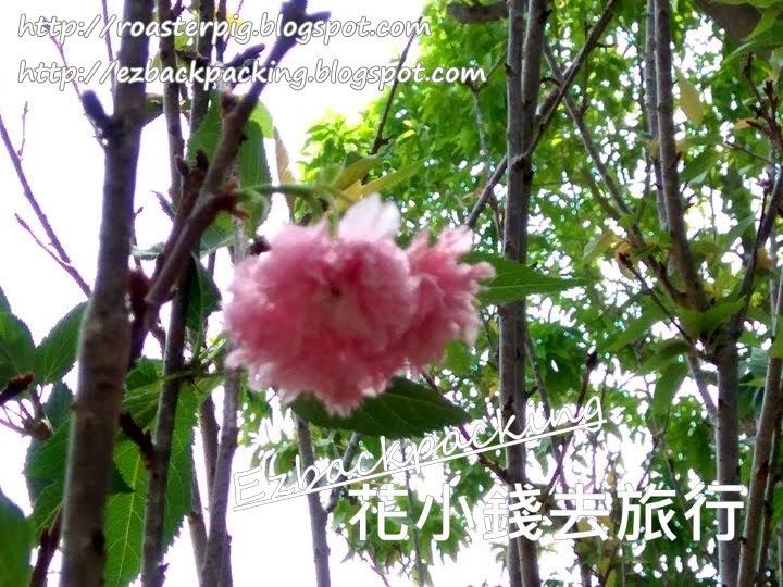 鰂魚涌櫻花