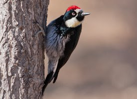 acorn woodpecker, lake arrowhead, birdwatching