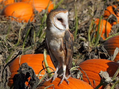 Whisper the Barn Owl