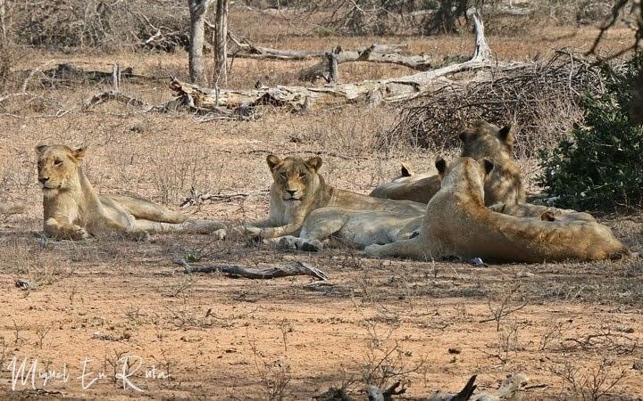 Leones de Tshokwane, Kruger