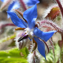 http://wild-flowers-of-europe.blogspot.nl/2014/12/borago-officinalis.html