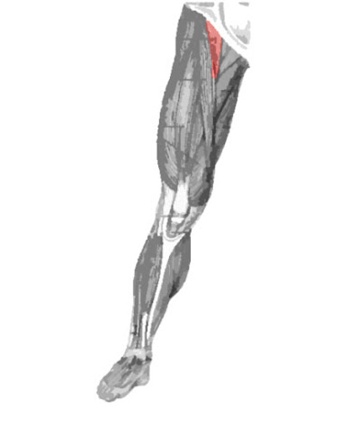 Músculo iliopsoas remarcado de color
