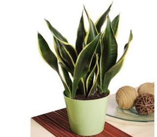Cara merawat tanaman lidah mertua