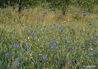 niebieskie polne kwiaty cykorii