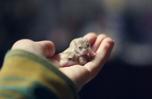 Hình ảnh dễ thương của chuột hamster