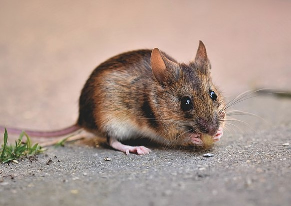 Dangers and research on human life from rats