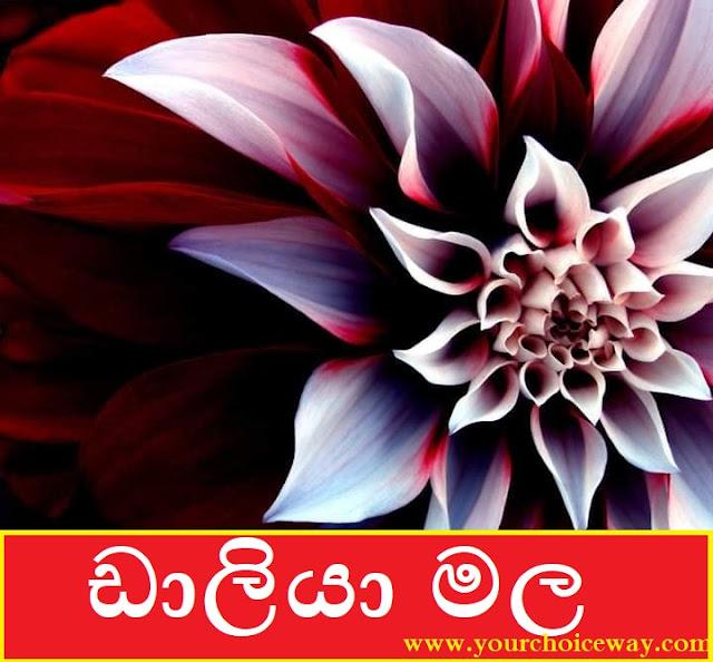 ඩාලියා මල 🌻💮🌼🌸🌺🌻 (Dahlia Flower) - Your Choice Way