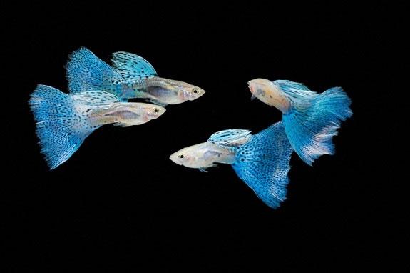 cá 7 màu có thể nuôi trong bể thủy sinh