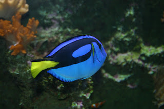 regal tang fish