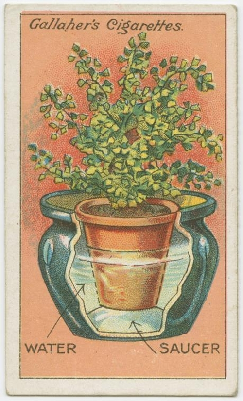 05-How-to-grow-maidenhair-ferns-Gallaher-How-to-do-Cards-from-the-Early-1900-www-designstack-co